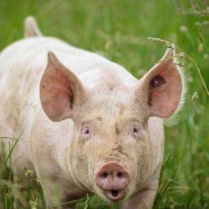 Freilandschwein